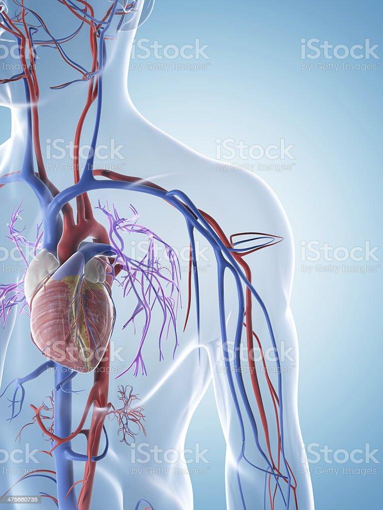 Männliche Venen Und Arterien Stock-Fotografie und mehr Bilder von ...