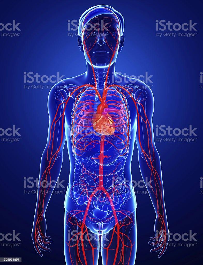 Male arteries artwork stock photo