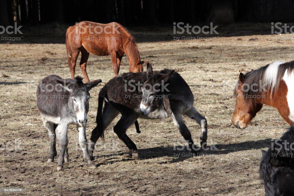 esel bei der paarung