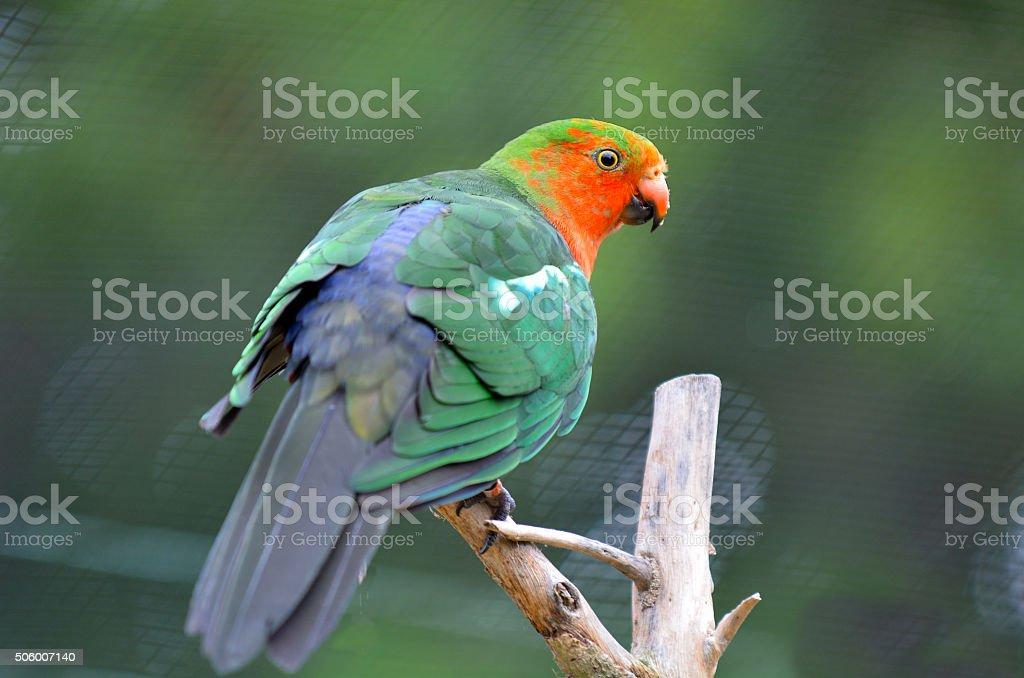 Male Australian king parrot sit on a tree stock photo