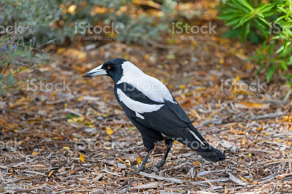 Male Australian magpie bird in black and white plumage stock photo