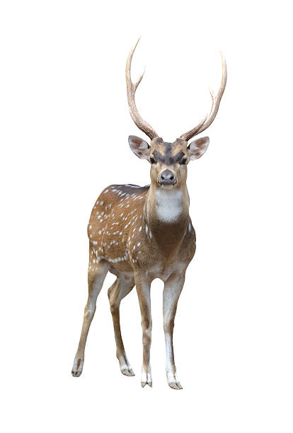 male axis deer male axis deer isolated on white background axis deer stock pictures, royalty-free photos & images