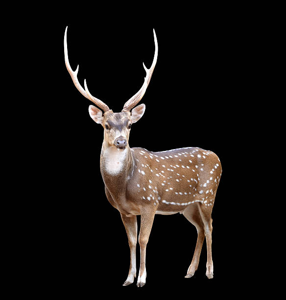 male axis deer male axis deer isolated on black background axis deer stock pictures, royalty-free photos & images