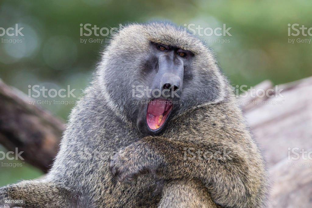 Male Baboon screaming, Kenya, Africa, Lake Nakuru stock photo