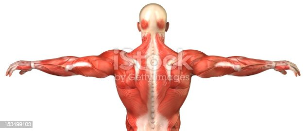 istock Male back muscular system anatomy isolated 153499103