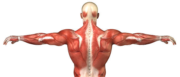 Male back muscular system anatomy isolated Back Muscle system Posterior view janulla stock pictures, royalty-free photos & images