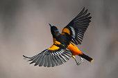 istock Male Baltimore Oriole bird in flight 1224258856