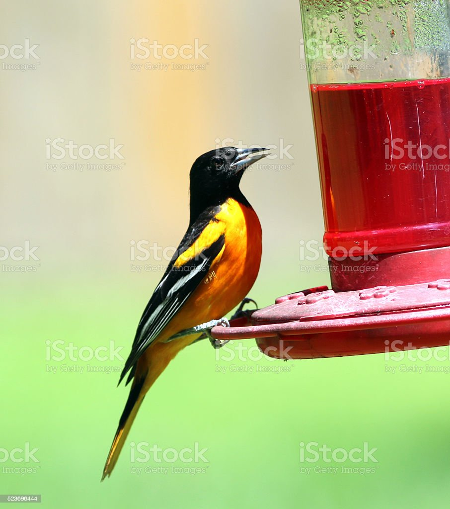 Male Baltimore Oriole Drinking Nectar stock photo
