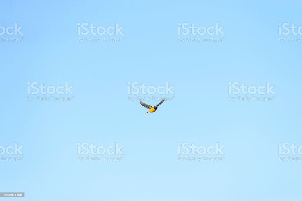 Male Baltimore Oriole making eye contact stock photo