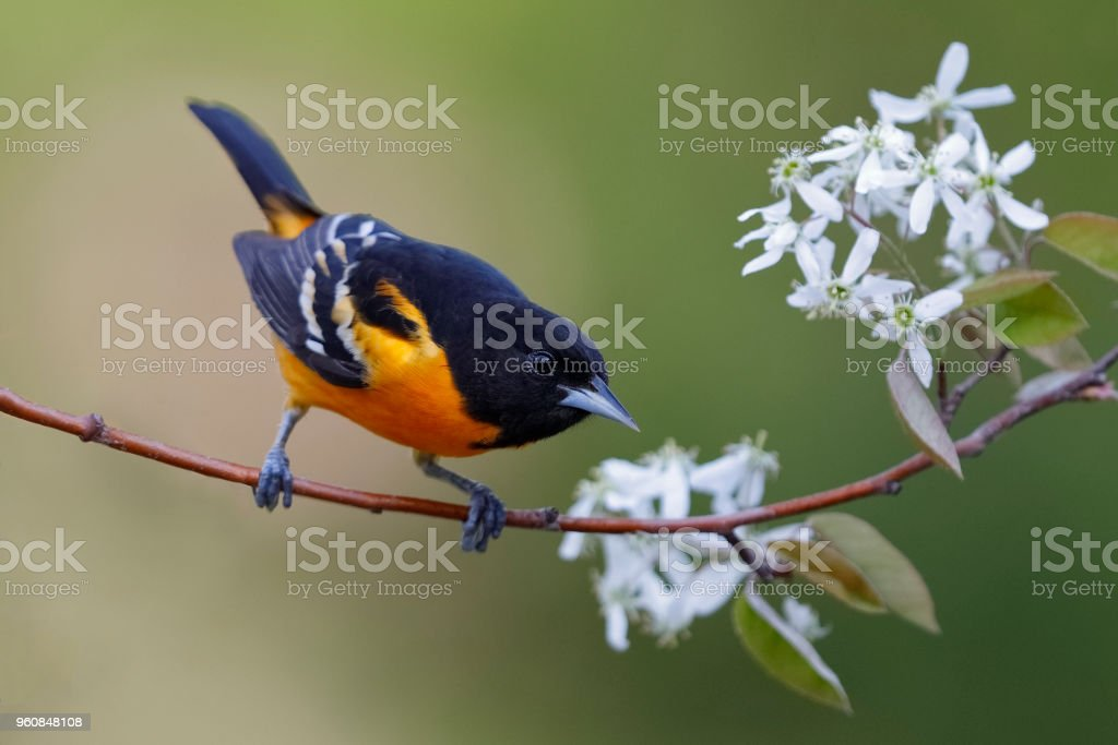 Male Baltimore Oriole perched in a serviceberry tree stock photo