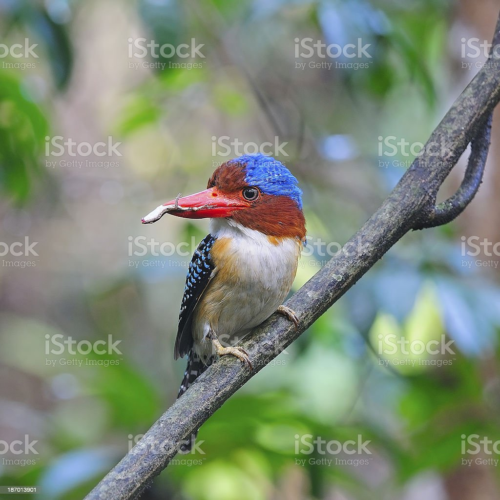 male Banded Kingfisher royalty-free stock photo