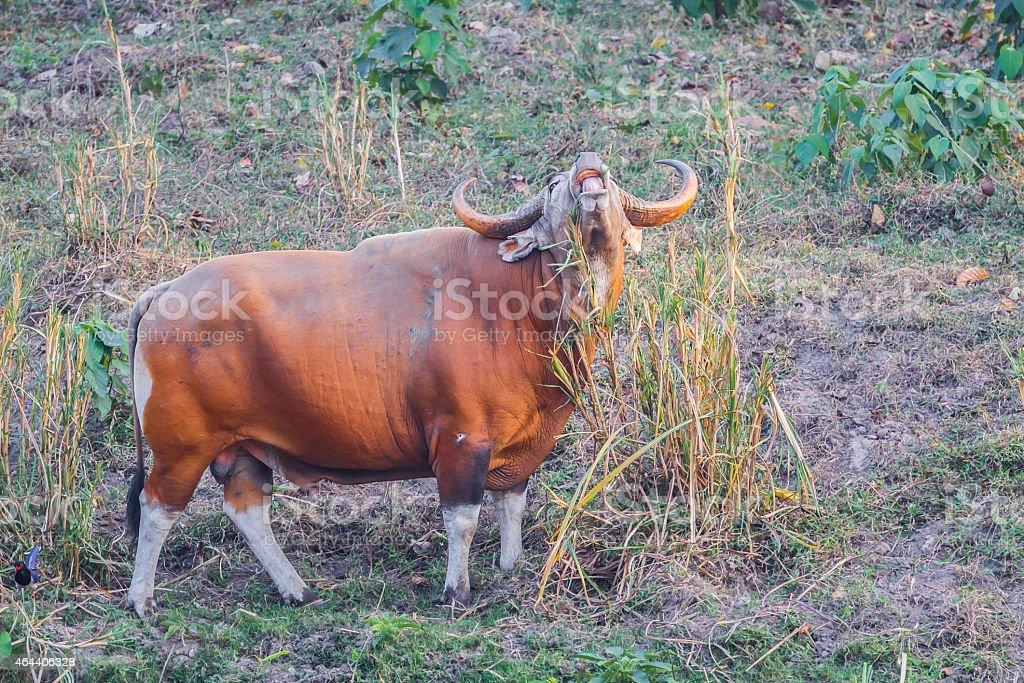 Male Banteng(Bos javanicus ) stock photo