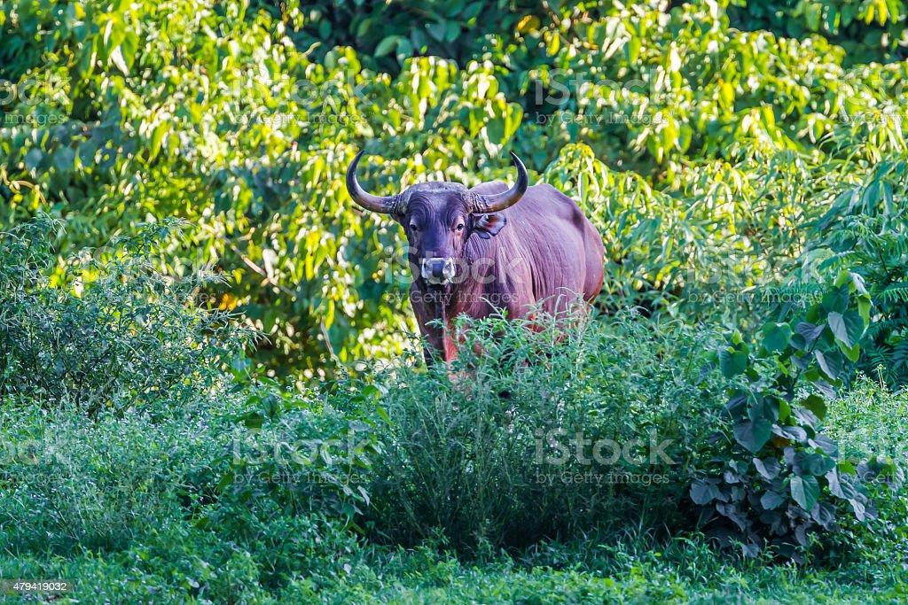 male Banteng (Bos javanicus) stock photo