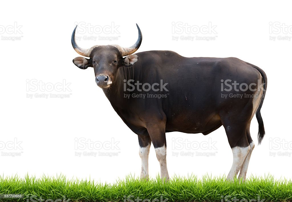 male banteng with green grass isolated stock photo