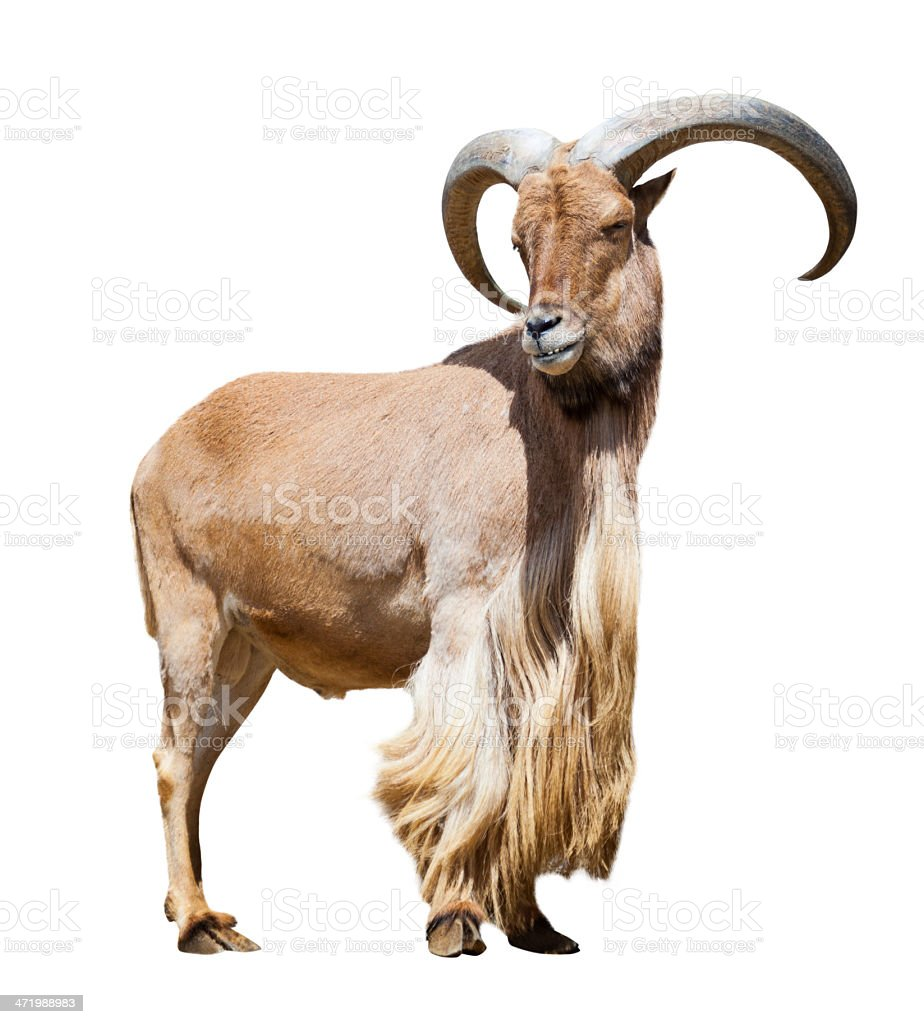 male barbary sheep. Isolated over white stock photo
