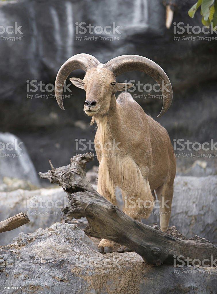 male Barbary sheep (Ammotragus lervia) stock photo