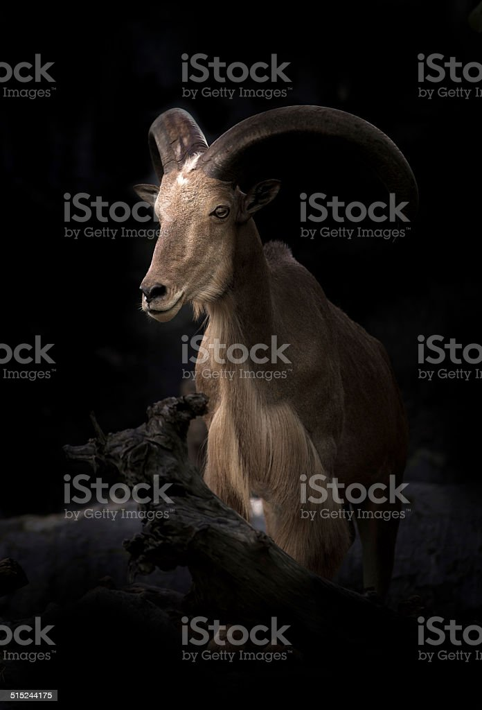 male Barbary sheep (Ammotragus lervia) stock photo