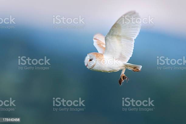 Male barn owl flying at dusk with his prey picture id175440458?b=1&k=6&m=175440458&s=612x612&h=g4keosrgckurnawrtiqsnlbh7elnpfvok7li ekp xq=