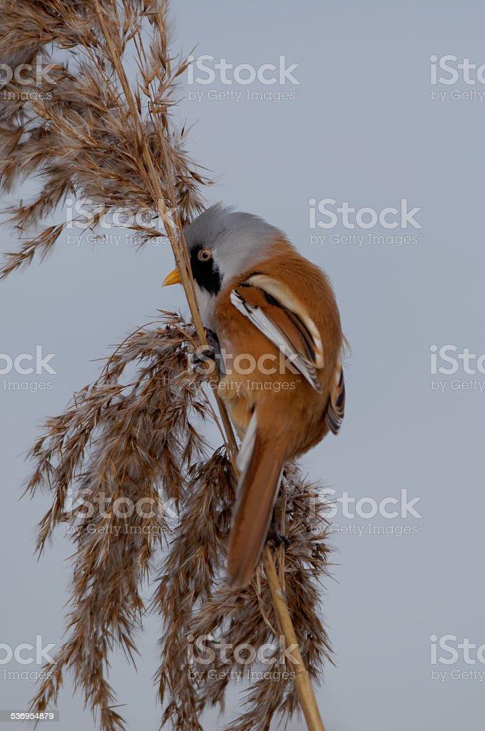 Male Bearded Reedling on Reeds stock photo