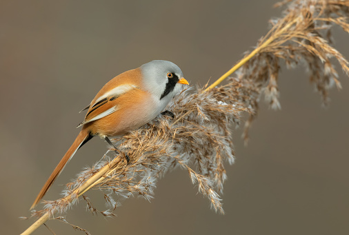 Male bearded reedling (Panurus biarmicus) perching on reed.