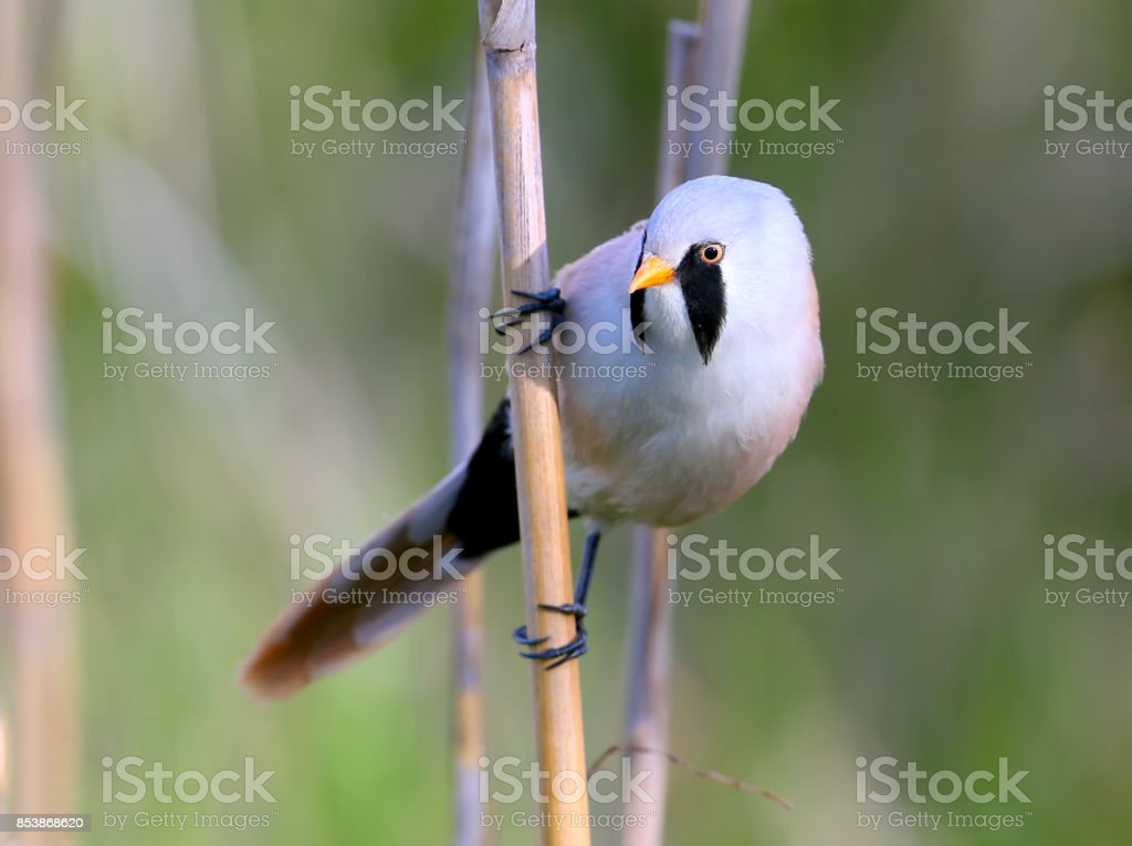 A Male bearded tit on the reed close up view. stock photo