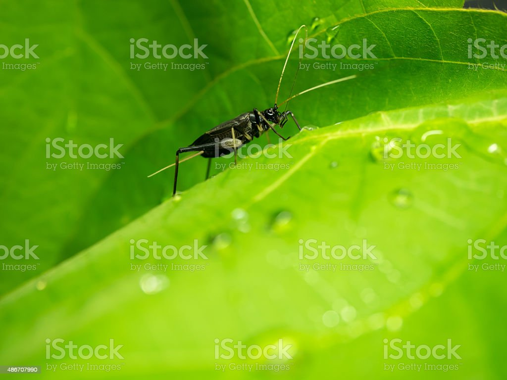 Male bell cricket on the green leaves stock photo
