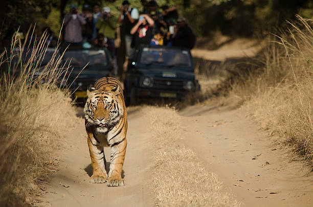 male bengal tiger - bengal tiger stock pictures, royalty-free photos & images