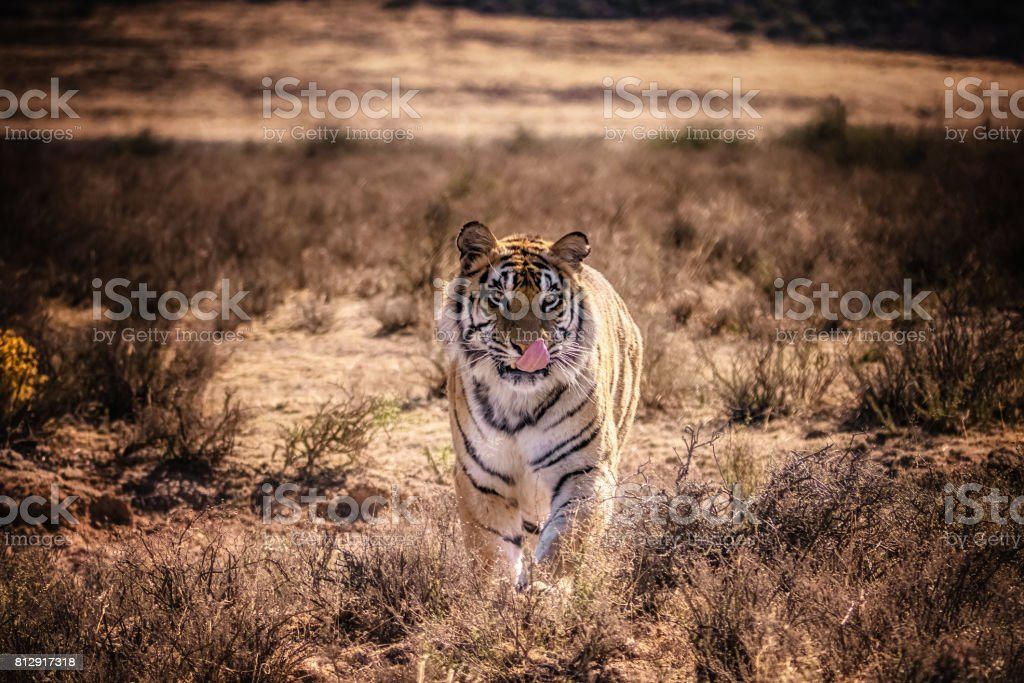 Male bengal tiger walks head-on toward camera in natural setting. stock photo