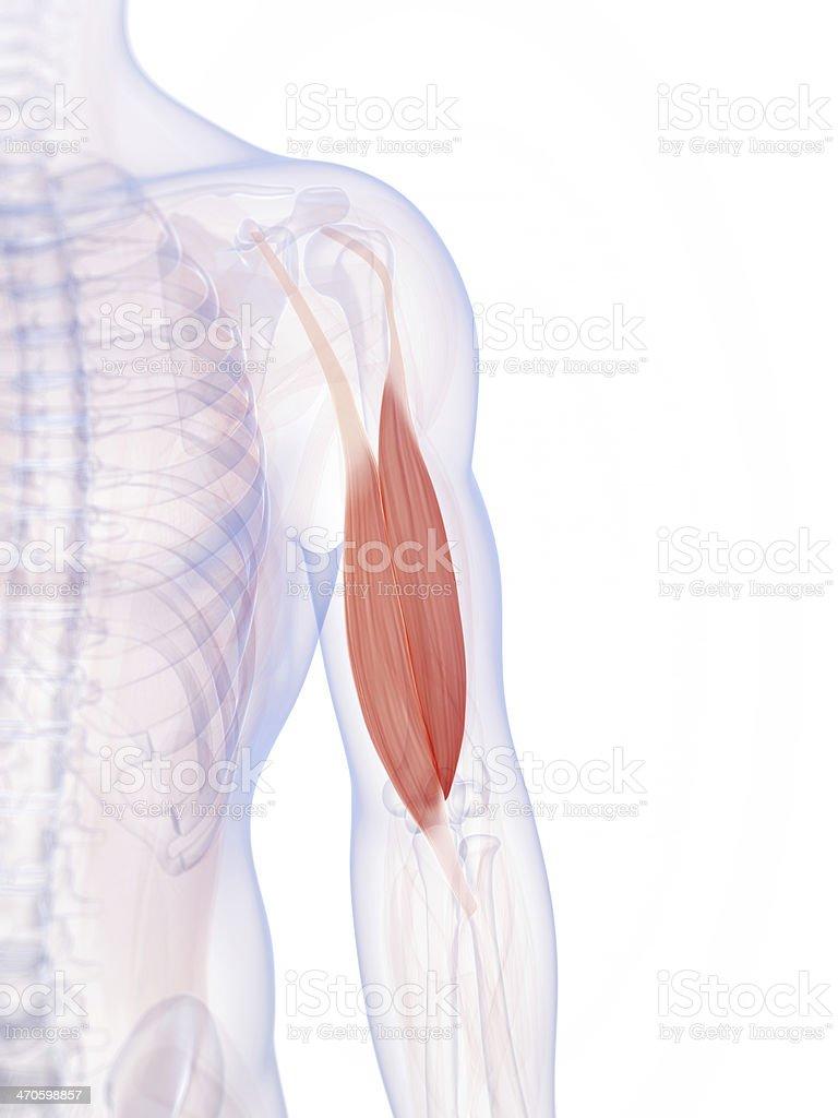 Männliche Bizeps Muskel Stock-Fotografie und mehr Bilder von ...