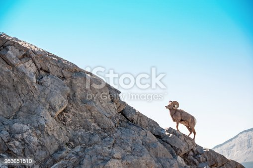 Ram Bighorn Sheep climbing edge of rock cliff