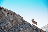 Male Bighorn Sheep climbing edge of rock cliff