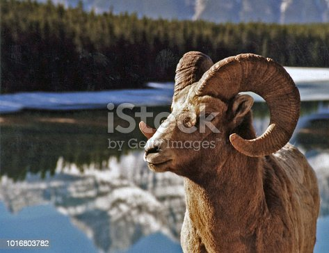 Male Bighorn Sheep close-up at sunrise