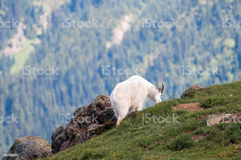Male Billy Mountain Goat in Olympic National Park in Washington stock photo