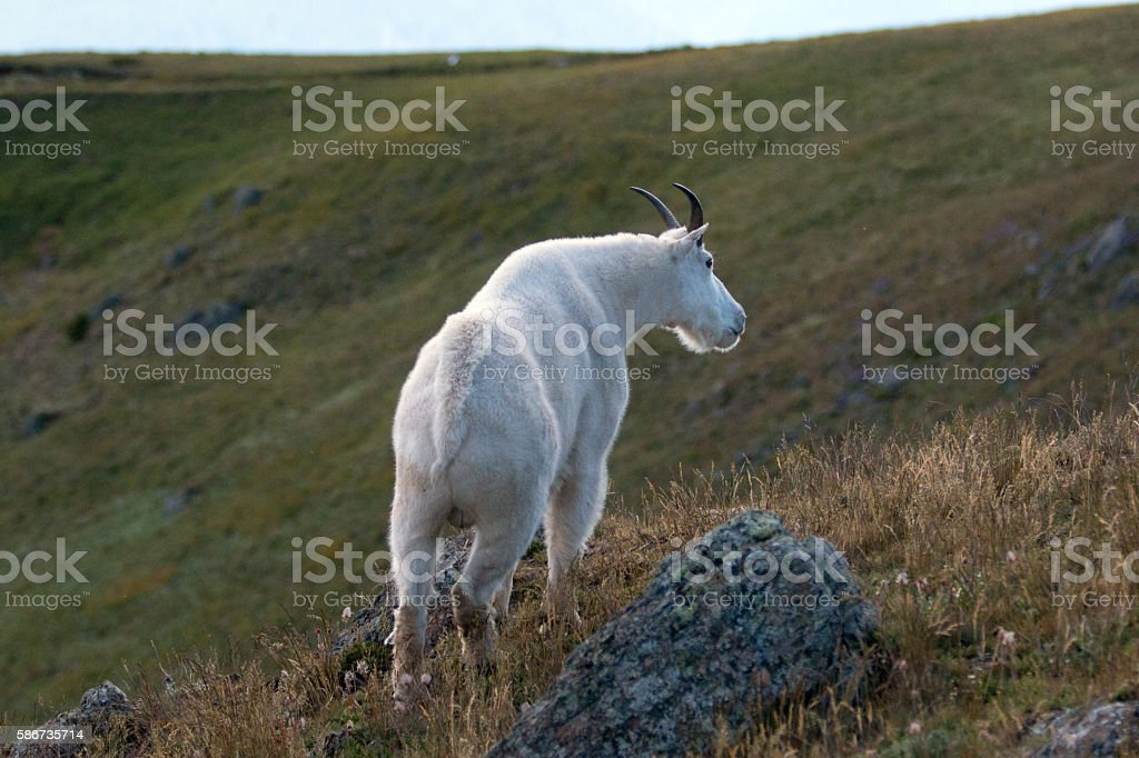 Male Billy Mountain Goat (Oreamnos Americanus) on Hurricane Hill stock photo