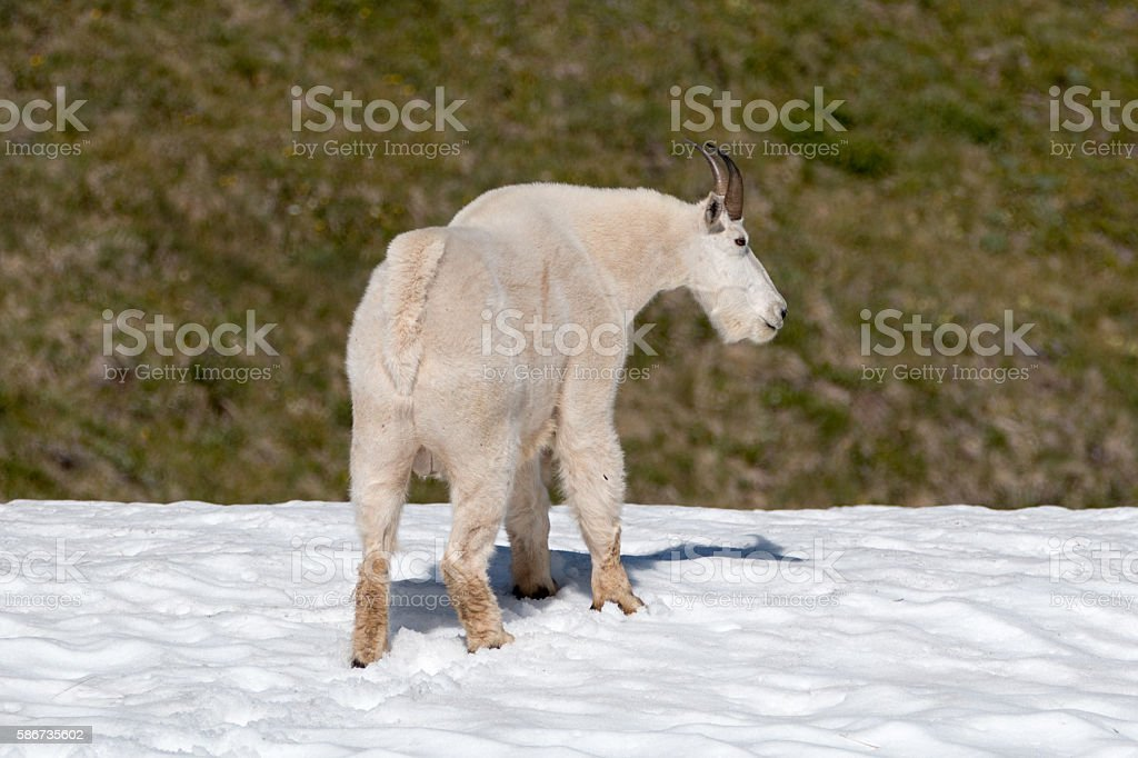 Male Billy Mountain Goat on Hurricane Hill snowfield ONP stock photo