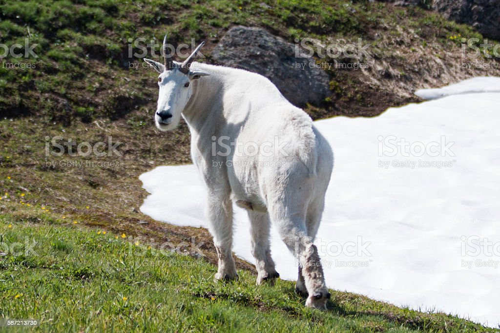 Male Billy Mountain Goat (Oreamnos Americanus) on Hurricane Hill USA stock photo