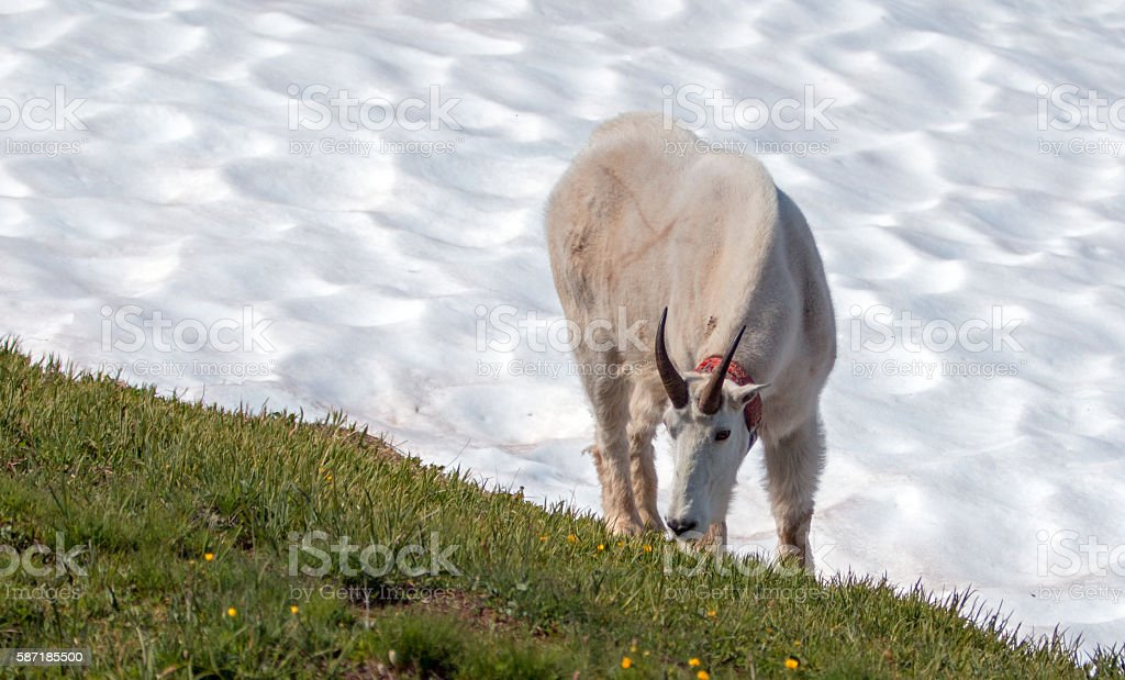 Male Billy Mountain Goat on snowfield in Olympic National Park stock photo