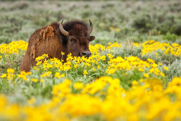 Male bison lying in the field with flowers, Yellowstone National Park, Wyoming stock photo