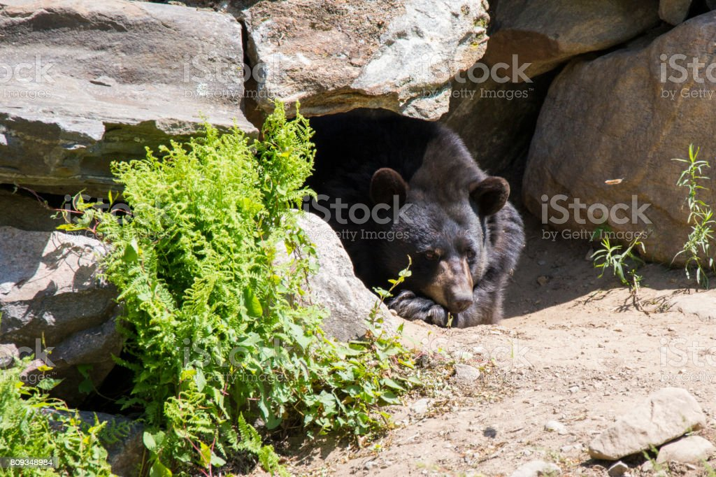 Male black bear stock photo