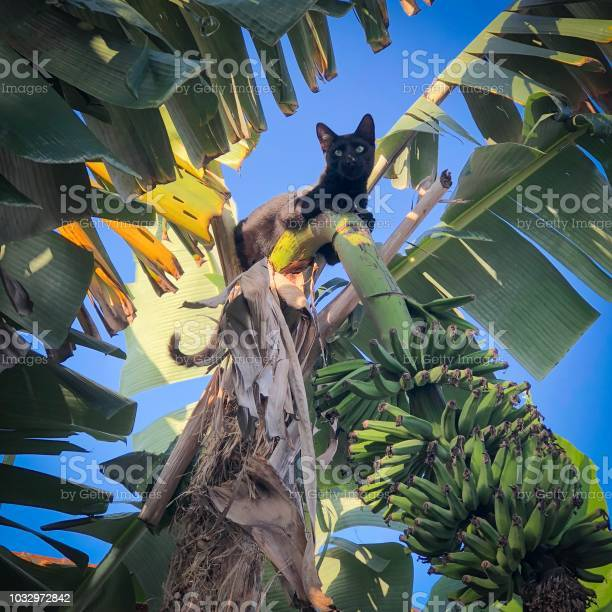 Male black cat climb on top of banana tree bunch picture id1032972842?b=1&k=6&m=1032972842&s=612x612&h=httdkrvifyth0ylwqnhmov66i87scc6lrvludpvviou=