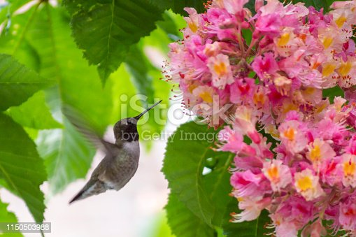 This male black chinned hummingbird is gathering food from a flowering chestnut tree.  This shot was taken in Utah where this type of hummingbird is common in the spring and winter months.  Groups of males or females congregate around food sources like the flowers on this tree.
