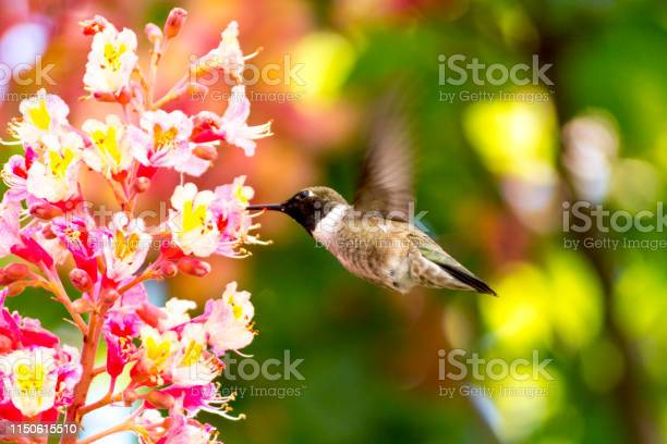 Photo of Male Black Chinned Hummingbird Sipping Nector From a Pink Chestnut Flower