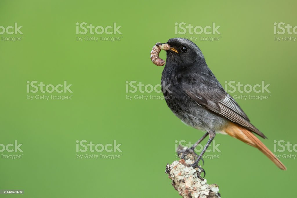 Male black redstart (Phoenicurus ochruros) stock photo