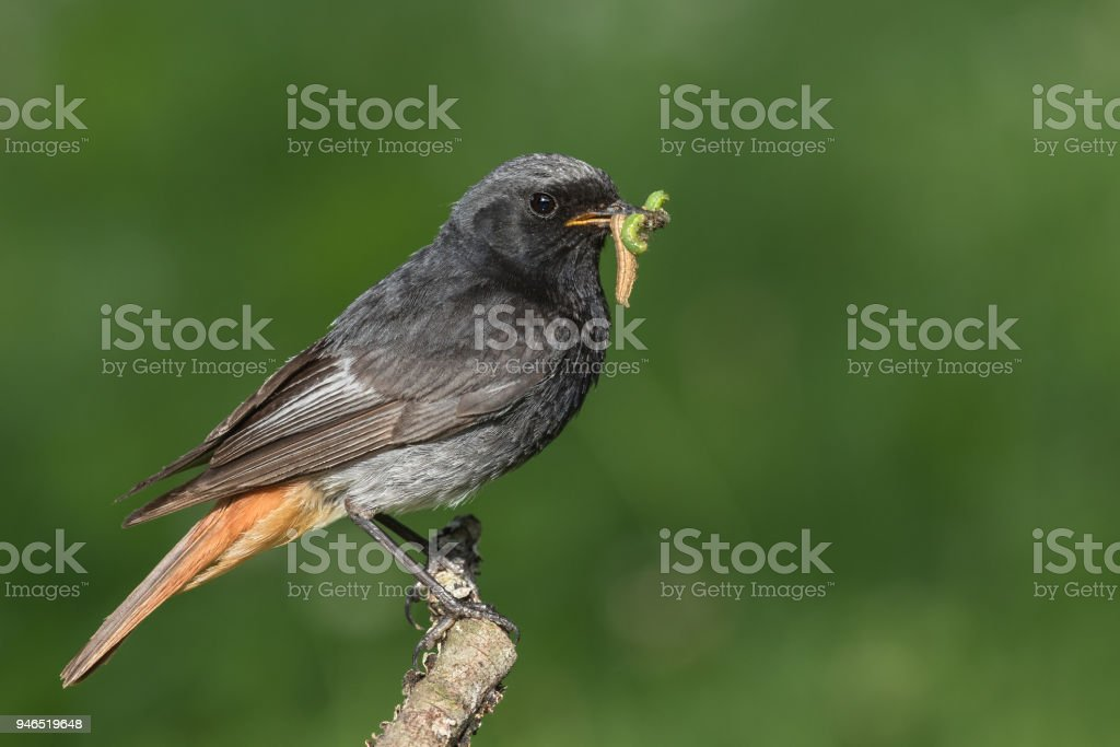 Male black redstart (Phoenicurus ochruros) with insects stock photo