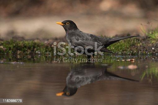 Male blackbird getting ready for a bath in a pond