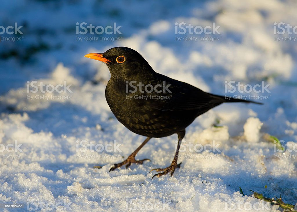 Male Blackbird in the snow stock photo