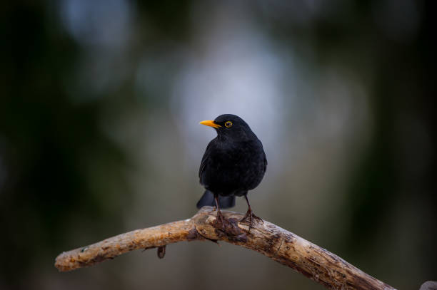 Male blackbird perching on an old pine branch stock photo