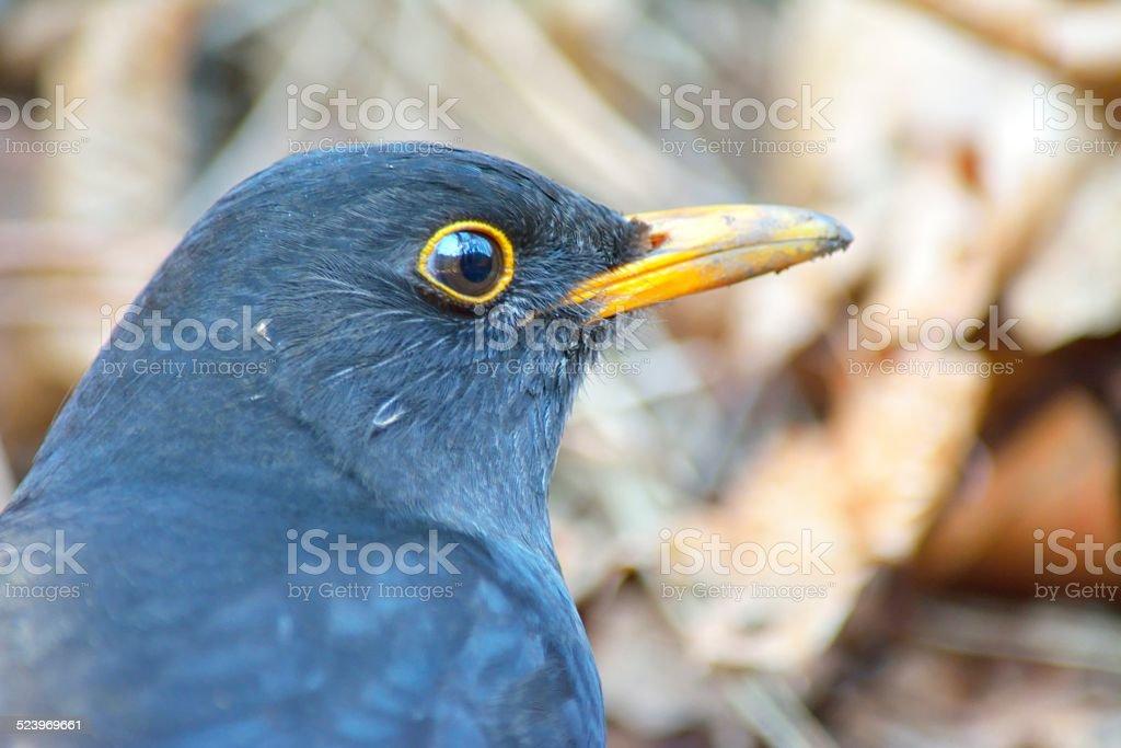 Male Blackbird - Turdus merula On the ground stock photo