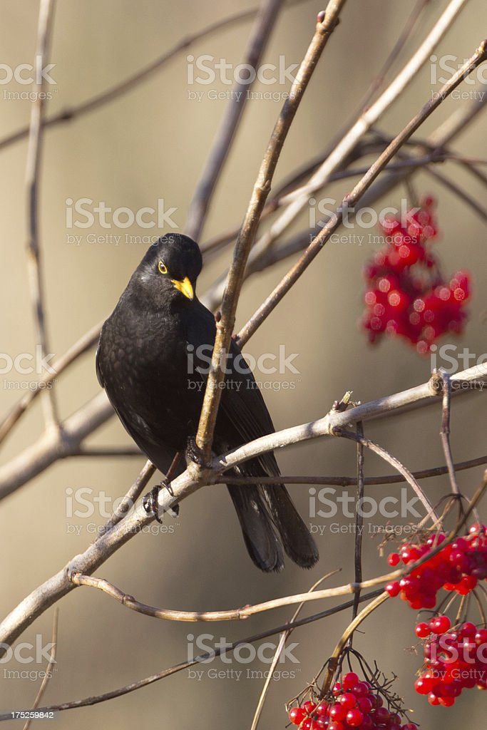 Male Blackbird with berries royalty-free stock photo