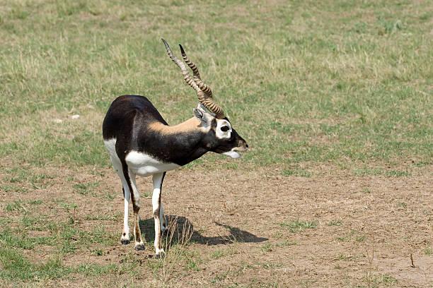 Male blackbuck calls his mate